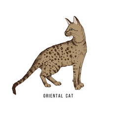 hand drawn orientalcat vector image