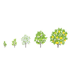 lemon tree growth stages vector image