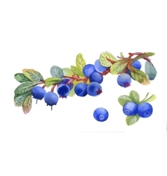Watercolor blueberry on white background vector