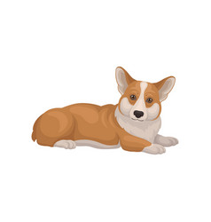 Welsh corgi lying on floor side view cute home vector