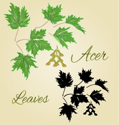 Acer-maple green leaves summer theme vector