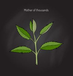 Bryophyllum daigremontianum or mother vector