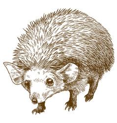 Engraving drawing of long eared hedgehog vector