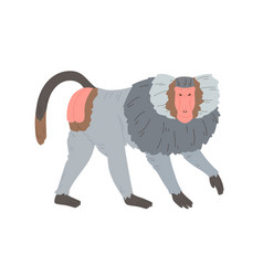 Hamadryas baboon standing on four legs silvery vector