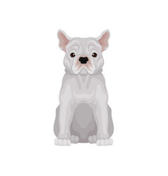 adorable sitting french bulldog small breed of vector image