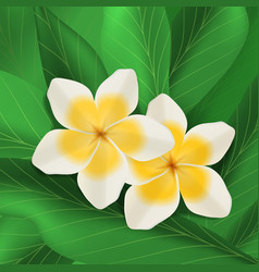 plumeria flowers with green leaves vector image vector image