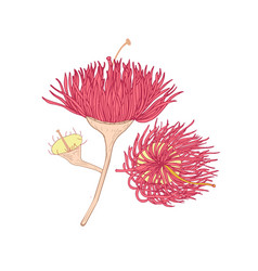 eucalyptus pink blooming flower hand drawn on vector image