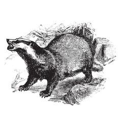 European badger vintage vector