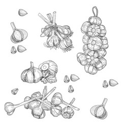 hand drawn set of garlic stylized black vector image