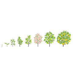 pear tree growth stages vector image