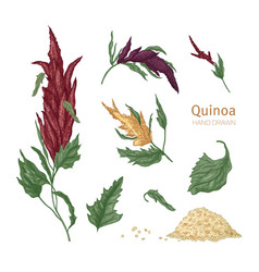 Bundle of various quinoa flowering plants and vector