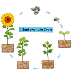 Diagram showing life cycle of sunflower vector