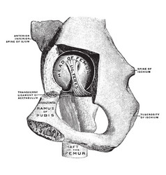 Hip joint from mesal side vintage vector