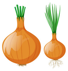 Onion with leaves and roots vector