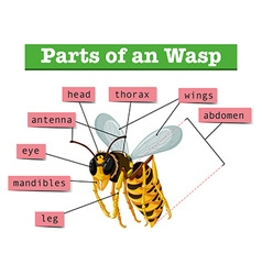 Anatomy of wasp with words vector image vector image