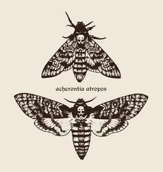 hand drawn deaths head hawk moths vector image