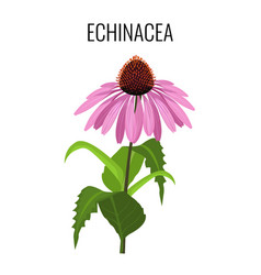 echinacea ayurvedic herbaceous flowering plant vector image