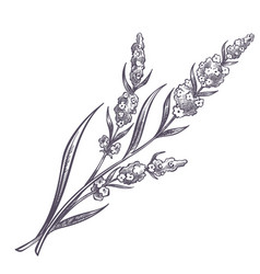 lavender branch flower in bloom monochrome vector image
