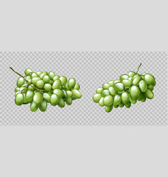 realistic grapes bunches ripe green berries set vector image