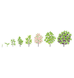 Blue plum tree growth stages vector