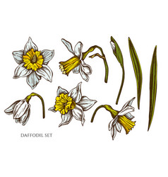 collection hand drawn colored daffodil vector image