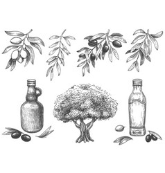 engravied olive oil hand drawn olives tree vector image