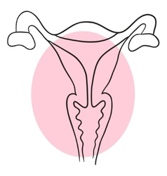 Uterus is a cross-sectional vector