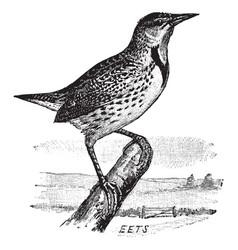 Eastern meadowlark vintage vector
