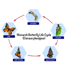 monarch butterfly life cycle vector image