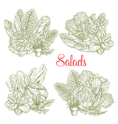 Sketch salads and farm lettuces vegetables vector