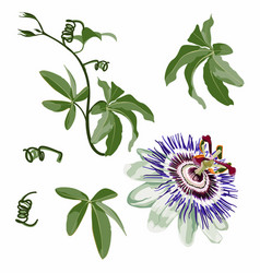 tropical flower passion flower with leaves branc vector image