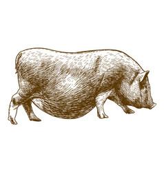 engraving antique of hog vector image
