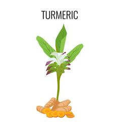 turmeric ayurvedic herb with rhizomes isolated on vector image