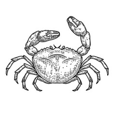 sea crab in engraving style design element vector image