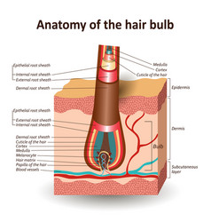 Structure hair bulb in cross skin layer vector