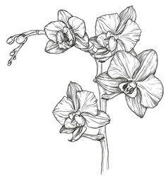 Sketch orchid flower blossom vector