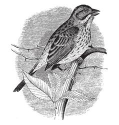 Song sparrow vintage vector