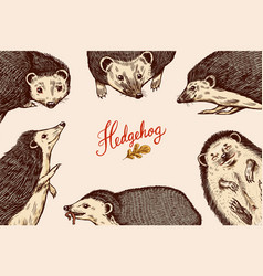 hedgehog background spiny forest animal poster or vector image
