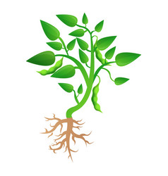soybean plant grow up icon cartoon style vector image