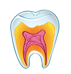 Teeth on section vector