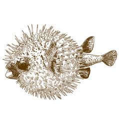 Engraving drawing of porcupinefish blowfish vector