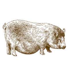 engraving pig vector image