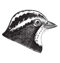 White throated sparrow head vintage vector