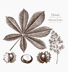 Chestnut botanical vector