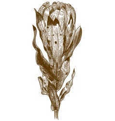 Engraving of protea carnival flower vector