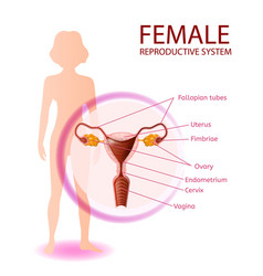 Female reproductive system anatomical banner vector