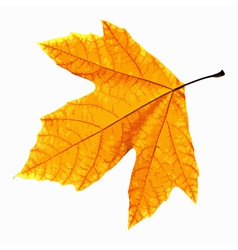 Yellow Leaf Isolated vector image vector image