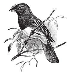 black phoebe vintage vector image