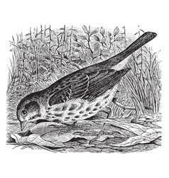 Fox sparrow vintage vector