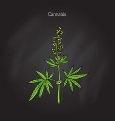 hemp cannabis sativa vector image